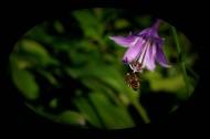 紫玉簪图片(10张)