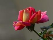 浪漫的玫瑰花图片(6张)