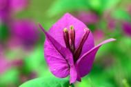 紫色三角梅花卉图片(12张)