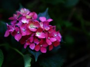 绣球花图片(9张)