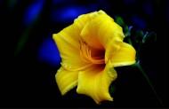 黄色萱草花图片(10张)