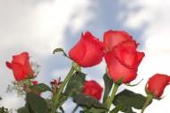 娇艳的红玫瑰图片(9张)