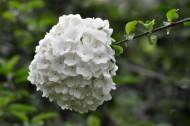 木绣球花卉图片(10张)
