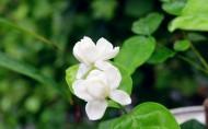 香气浓郁的茉莉花图片(19张)