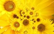 向日葵高清图片(5张)