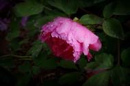 艳丽的牡丹图片(11张)