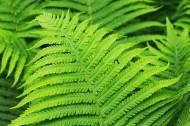 碧绿的金星蕨图片(15张)