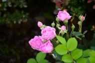 白色和粉色蔷薇花图片(12张)