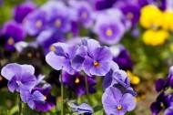 美丽的紫色花朵图片(14张)