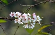 美丽的樱花图片(9张)
