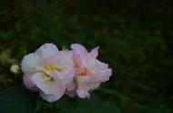 木芙蓉花卉图片(9张)