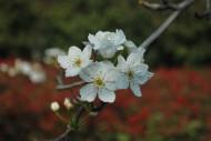 梨花图片(11张)