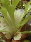 二歧鹿角蕨植物图片(5张)