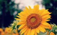 向日葵图片(6张)