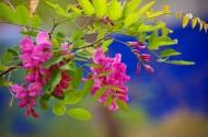 槐花图片(9张)