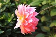 地瓜花图片(10张)