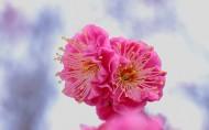 唯美菊花图片(6张)