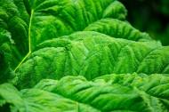绿色的叶子叶脉图片(15张)