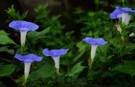 蓝色牵牛花图片(10张)