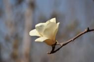 玉兰花图片(7张)