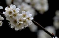 白色樱花图片(9张)