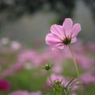 粉色波斯菊图片(10张)