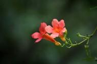 橙色凌霄花图片(10张)