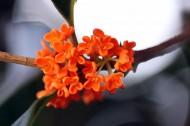 金黄飘香的桂花图片(14张)