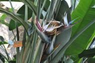 大鹤望兰植物花朵图片(1张)