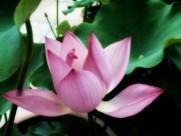 粉嫩荷花图片(15张)