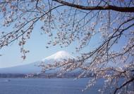 樱花树图片(58张)