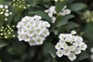 麻叶绣线菊花卉图片(9张)