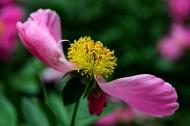 鲜艳的芍药花图片(7张)