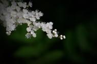 珍珠梅图片(10张)