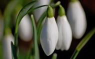 纯洁的白色雪花莲图片(9张)