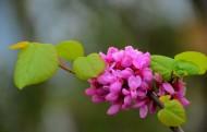 神秘紫荆花花卉图片(11张)