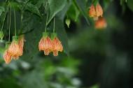 盛开中的金铃花图片(8张)