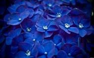 紫阳花图片(10张)