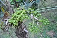 康科罗棕植物图片(3张)