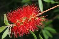 红千层花卉图片(8张)