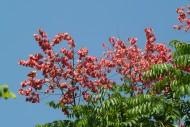 栾树花图片(13张)