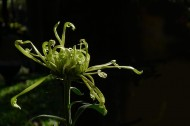 茂盛菊花图片(11张)