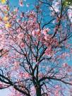 粉红的桃花图片(25张)