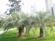 弓葵植物图片(6张)