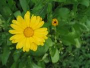 橙黄色金盏花图片(9张)