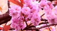 绚烂的粉色樱花图片(10张)