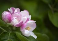 苹果花图片(10张)