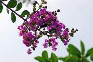 紫薇图片(7张)