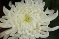 各种颜色的菊花图片(6张)