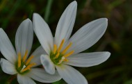 白色石蒜花图片(19张)